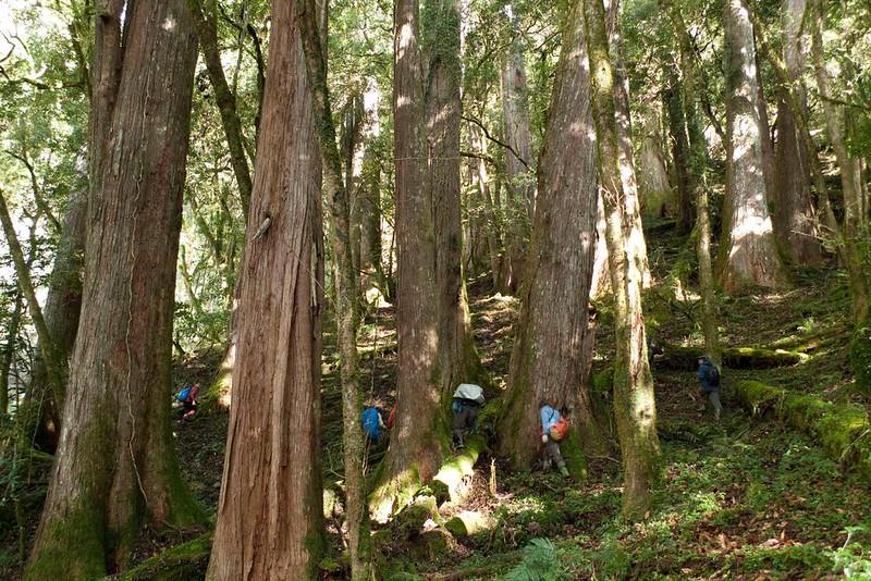 台灣杉千年巨木林