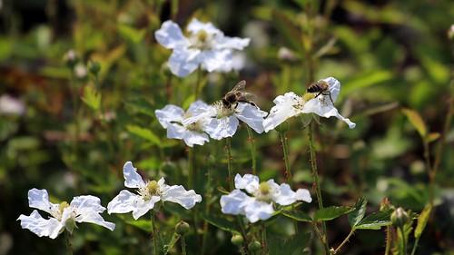 Early Dewberry Flowers