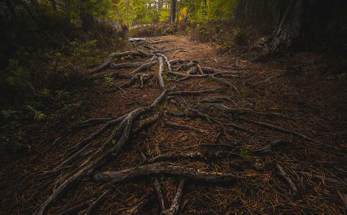 nature nikon path roots nikkor needles jyrki 2880mm d600 salmi mussalo