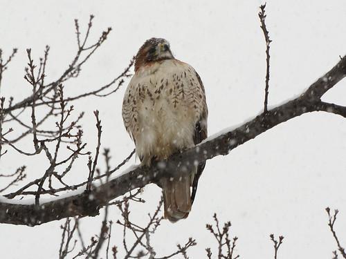 Snow Hawk - 6035