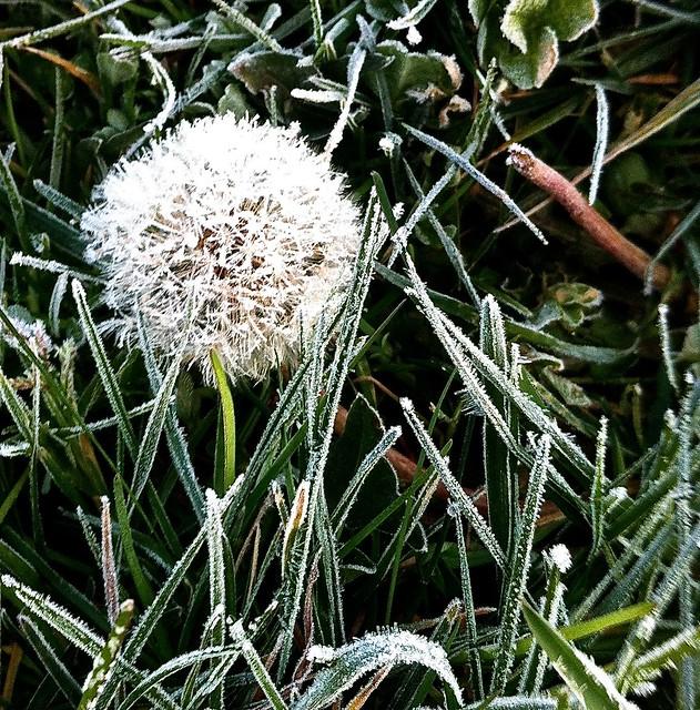 frozen-dandelion