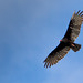 Turkey Vulture over Butler, New Jersey, USA by Michael Bateman