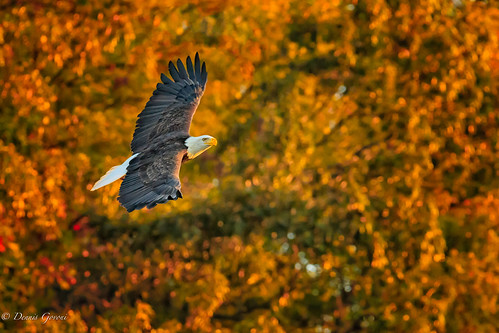 virginia action background bird eagle jamesriver sunrise wildlife richmond unitedstates us