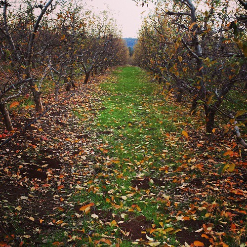 Could wander for hours here #apples #orchard #California