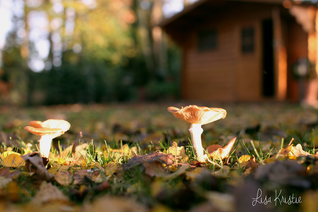 mushrooms closeup fall autumn sharp colorful beautiful backyard garden shed europe belgium canon 5D markii sunny weather