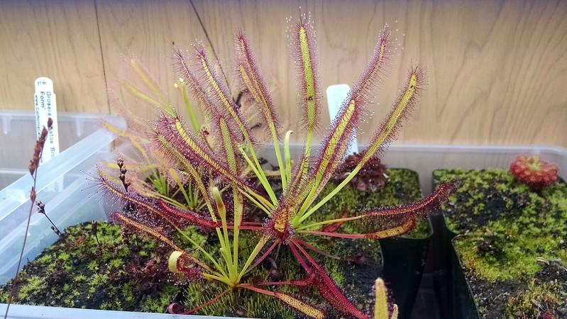 "Drosera capensis ""Broad Leaf"""