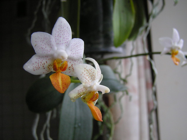 Phalaenopsis 'Mini Mark'