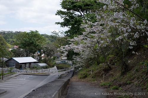 クメノサクラ | Okinawa, Japan 27