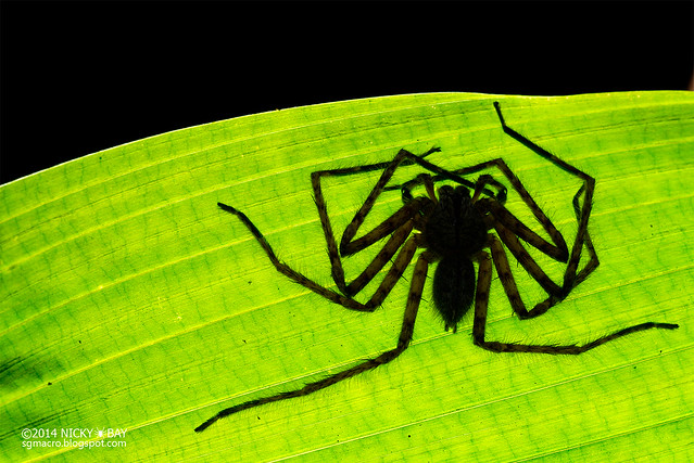 Huntsman spider (Sparassidae) - DSC_2830