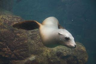 089 Osaka aquarium - zeeleeuw