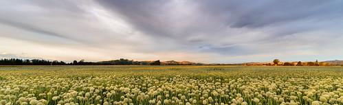 light sunset newzealand sky clouds dusk fields onion masterton wairarapa onionflowers