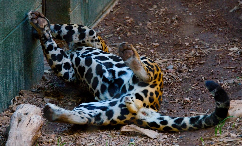 Jaguar (Panthera onca)_1