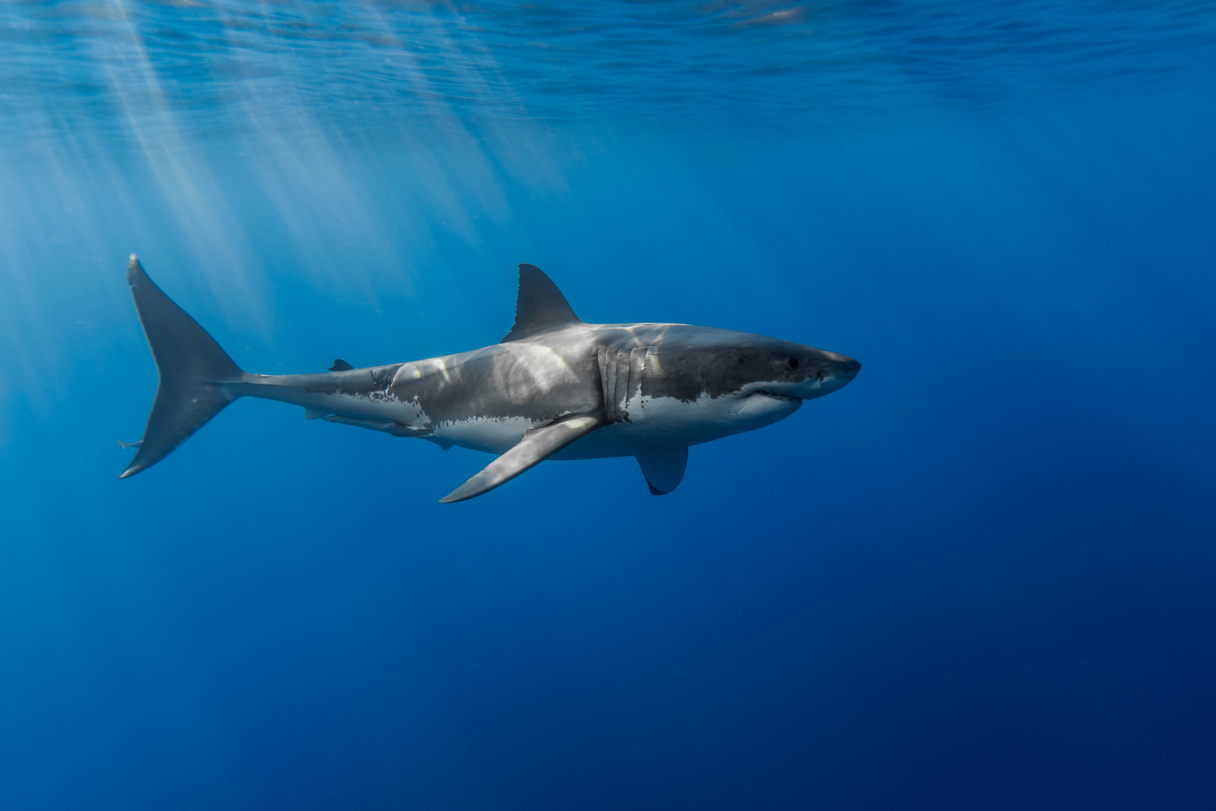 Great White Shark : Wallpapers