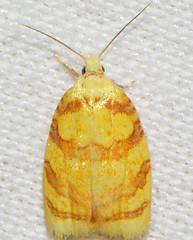 # 3502 – Acleris albicomana – Red-edged Acleris Moth