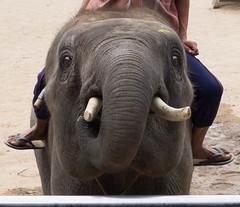 safari(0.0), animal(1.0), indian elephant(1.0), elephant(1.0), elephants and mammoths(1.0), african elephant(1.0), fauna(1.0), mahout(1.0), wildlife(1.0),