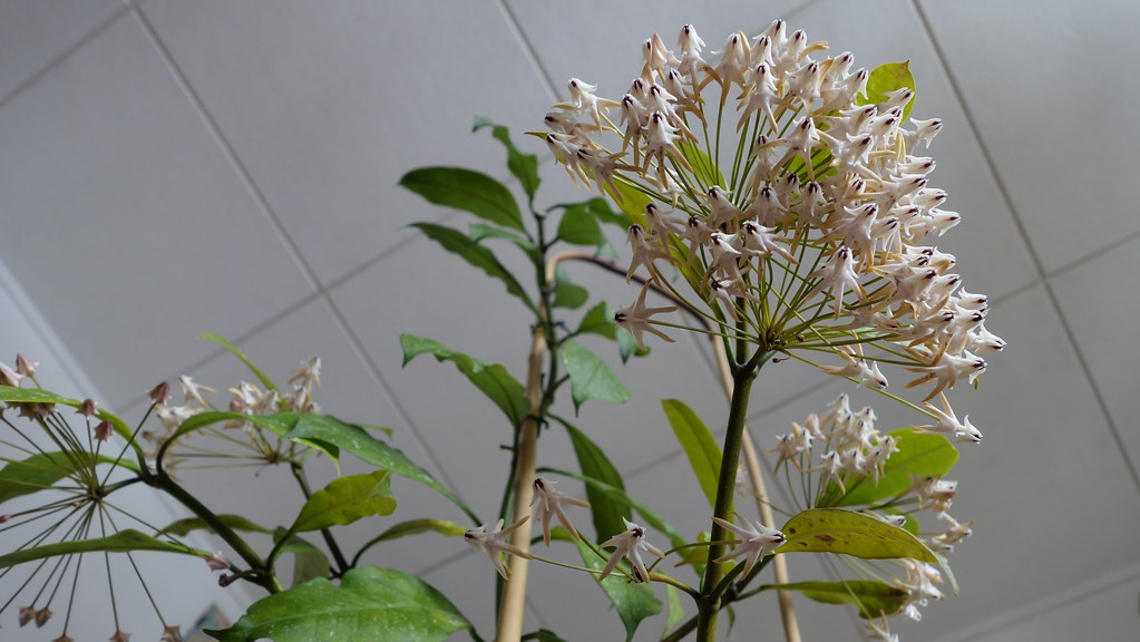 Hoya multiflora 'Milky Way' 16384759506_c017bd1220_b