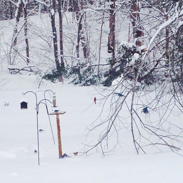 We have a family of fifteen bluejays and a cardinal pair, and six mourning dove pairs visiting our feeders, today.