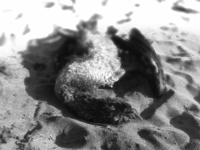 deceased seagull in the sand.  Ocean Beach, San Francisco (2015)
