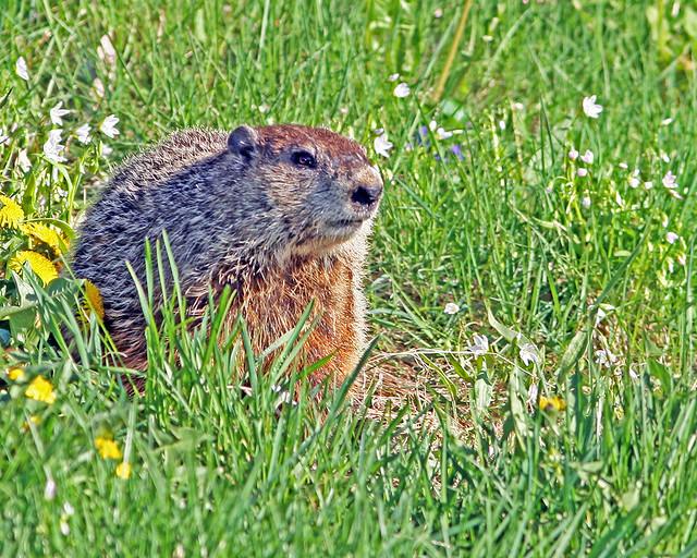 Groundhog 20d_9788