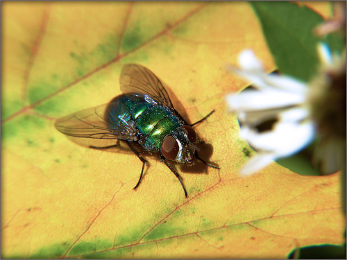 Green Bottle Fly on Autumn Leaf 1