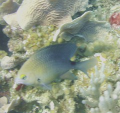 Three Spot Damselfish