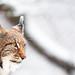 Snow lynx portrait II by generalstussner