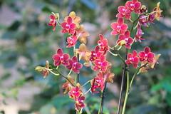 blossom(0.0), shrub(0.0), macro photography(0.0), lathyrus latifolius(0.0), produce(0.0), annual plant(1.0), flower(1.0), plant(1.0), herb(1.0), flora(1.0), snapdragon(1.0),