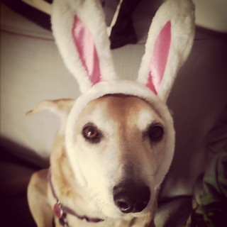 Sophie, reluctantly testing out the new #bunnyears - a steal for only $1 at #Target #rescued #houndmix #dogstagram #Easter #spring #ilovemydogs