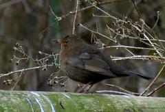 nightingale(0.0), robin(0.0), sparrow(0.0), cardinal(0.0), wren(1.0), animal(1.0), branch(1.0), nature(1.0), fauna(1.0), emberizidae(1.0), beak(1.0), blackbird(1.0), bird(1.0), wildlife(1.0),