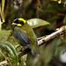 Gold-ringed Tanager (Daniel Uribe)