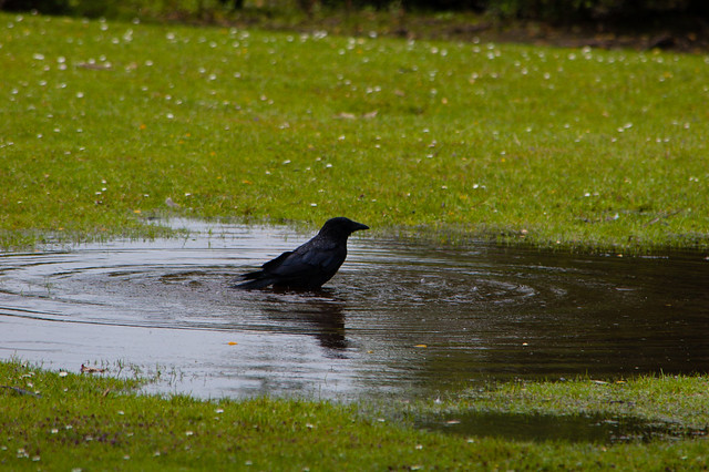 Carrion crow bathing