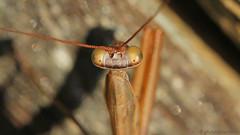 European mantis I