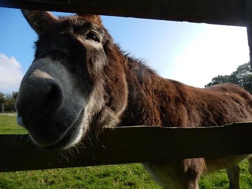 Lockwood donkey