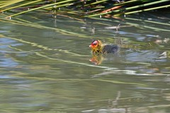 Eurasian Coot  ( young one )