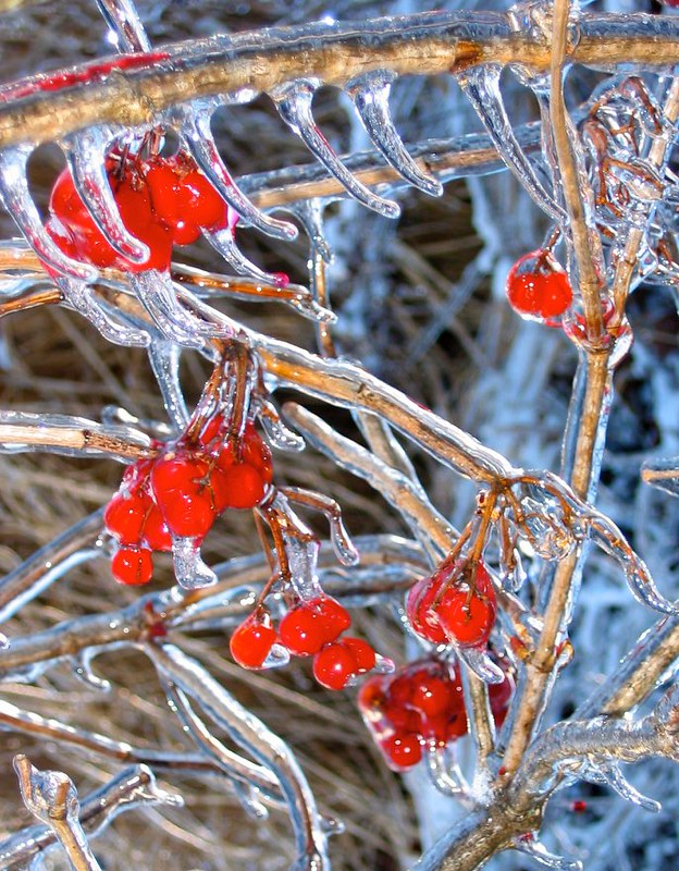 Iced over American Cranberry Bush Viburnum