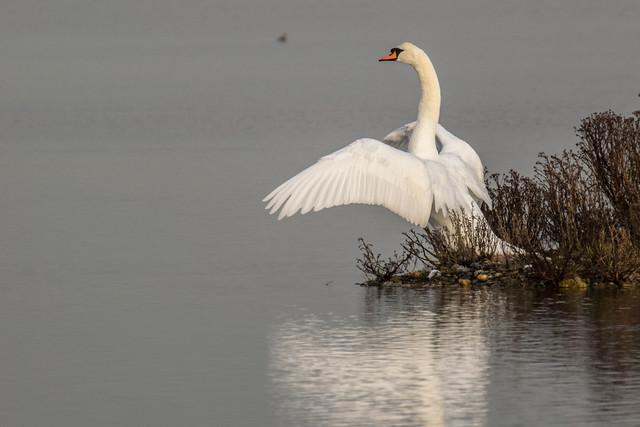DSC_2884 Swan
