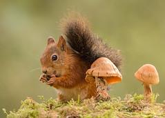 peanut squirrel