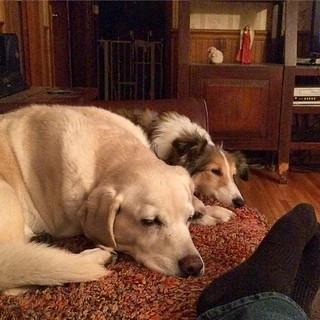 Two former puppy mill girls all snug as a bug. #Daisy #Maggie