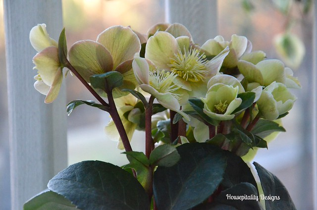 "Helleborus ""Cinnamon Snow"" - Housepitality Designs"