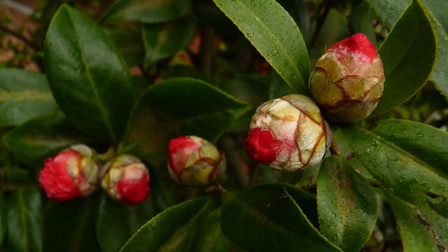 R - Camellia-u5c71u8336u82b1-P2070942