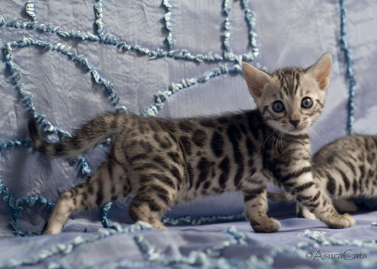 AsuraCats Kaiba - Silver rosetted female