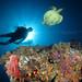 Divers & turtle