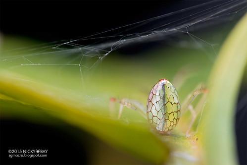 Mirror spider (Thwaitesia sp.) - DSC_7581