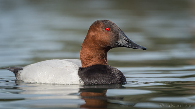 Ed Post - Canvasback (Aythya valisineria)