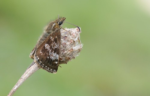 Dingy Skipper (Erynnis tages)