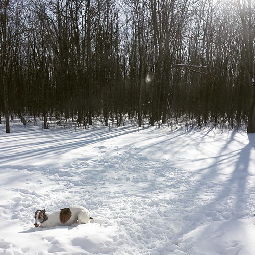 Morning helping of snow #Cane #DogsOfInstagram