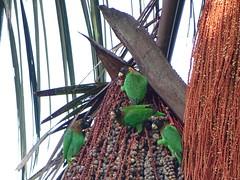 Caïques à tête noire (Pyrilia caica)
