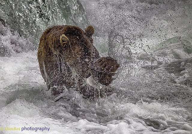 Bear fighting with salmon