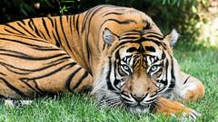 Tiger Tengah