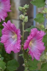 Trompettes roses